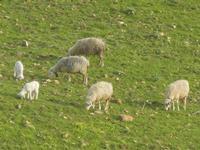 gregge al pascolo - 4 marzo 2012  - Buseto palizzolo (872 clic)