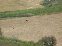 panorama agreste e cavalli in libertà - Baglio Arcudaci - 27 maggio 2012  - Bruca (300 clic)