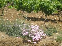 fiori nel vigneto - Baglio Arcudaci - 27 maggio 2012  - Bruca (316 clic)