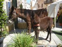 asini in Piazza Ciullo - 2 giugno 2012  - Alcamo (258 clic)