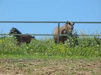 cavallo e puledro - Baglio Arcudaci - 1 aprile 2012  - Bruca (658 clic)