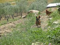 galline ed uliveto - Baglio Arcudaci - 27 maggio 2012  - Bruca (327 clic)