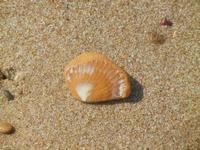 conchiglia fossile  - 10 settembre 2012  - Alcamo marina (247 clic)
