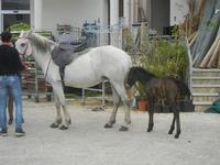 cavallo e puledro - PURGATORIO - preparativi della sfilata di cavalli - festa San Giuseppe Lavoratore a SPERONE - 29 aprile 2012  - Custonaci (1348 clic)