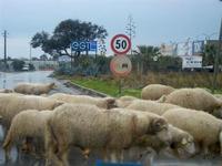 dare precedenza al gregge - 5 febbraio 2012  - Castelvetrano (1431 clic)