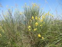 ginestra - Monte Inici - 6 maggio 2012  - Castellammare del golfo (355 clic)