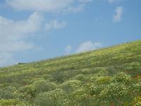 SIRIGNANO - collina fiorita - 1 maggio 2012  - Monreale (543 clic)