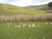 panorama agreste e gregge al pascolo - 4 marzo 2012  - Bruca (1286 clic)