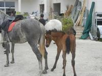 cavalli e puledri - PURGATORIO - preparativi della sfilata di cavalli - festa San Giuseppe Lavoratore a SPERONE - 29 aprile 2012  - Custonaci (482 clic)