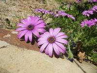 margherite lilla - Baglio Arcudaci - 1 aprile 2012  - Bruca (1370 clic)