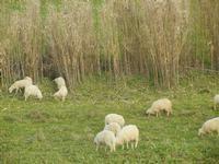 gregge al pascolo - 4 marzo 2012  - Bruca (2285 clic)
