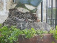 gatto nel vaso con agave - 15 aprile 2012 TERRASINI Lidia Navarra (bis)