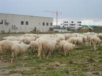 il gregge si allontana sotto la pioggia - 5 febbraio 2012  - Castelvetrano (966 clic)