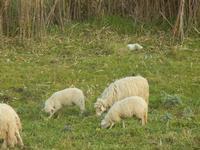 gregge al pascolo - particolare - 4 marzo 2012  - Bruca (624 clic)