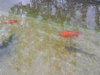 pesci rossi nella fontana - 14 aprile 2012  - Riserva dello zingaro (869 clic)
