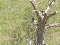 gazza su tronco - Baglio Arcudaci - 27 maggio 2012  - Bruca (292 clic)