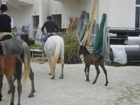 cavalli e puledri - PURGATORIO - preparativi della sfilata di cavalli - festa San Giuseppe Lavoratore a SPERONE - 29 aprile 2012  - Custonaci (483 clic)