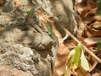 BIOPARCO di Sicilia - lucertole - 17 luglio 2012  - Villagrazia di carini (456 clic)