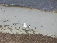 Lungomare Dante Alighieri - gabbiano in riva al mare - 15 luglio 2012  - Trapani (361 clic)