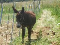 asino - Bosco di Scorace - Il Contadino - 13 maggio 2012  - Buseto palizzolo (403 clic)