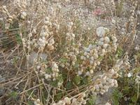 Contrada MATAROCCO - babbaluci - chiocciole - 5 agosto 2012  - Marsala (647 clic)