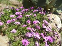 margherite lilla - Baglio Arcudaci - 1 aprile 2012  - Bruca (567 clic)