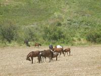 panorama agreste e cavalli in libertà - Baglio Arcudaci - 27 maggio 2012  - Bruca (365 clic)