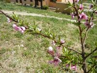 fiori di pesco - Baglio Arcudaci - 1 aprile 2012  - Bruca (648 clic)