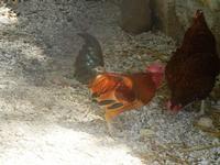 gallo e gallina - Bosco di Scorace - Il Contadino - 13 maggio 2012  - Buseto palizzolo (392 clic)