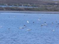 uccelli acquatici nelle saline - Riserva Naturale Orientata Saline di Trapani e Paceco - 13 settembre 2012  - Trapani (261 clic)