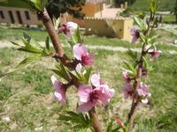 fiori di pesco - Baglio Arcudaci - 1 aprile 2012  - Bruca (599 clic)