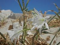 gigli di mare - 12 agosto 2012  - San vito lo capo (320 clic)