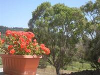 geranio, alberi e panorama - Bosco di Scorace - Il Contadino - 13 maggio 2012  - Buseto palizzolo (321 clic)