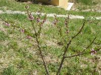 fiori di pesco - Baglio Arcudaci - 1 aprile 2012  - Bruca (602 clic)
