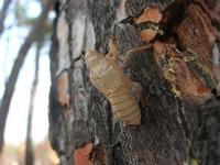 esuvia di cicala - 5 agosto 2012  - Segesta (273 clic)
