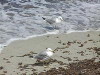 Lungomare Dante Alighieri - gabbiani in riva al mare - 16 luglio 2012  - Trapani (374 clic)
