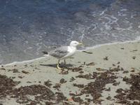 Lungomare Dante Alighieri - gabbiano in riva al mare - 16 luglio 2012  - Trapani (387 clic)
