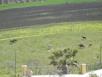 cavalli e puledri in libertà - Baglio Arcudaci - 1 aprile 2012  - Bruca (725 clic)