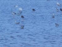 uccelli acquatici nelle saline - Riserva Naturale Orientata Saline di Trapani e Paceco - 13 settembre 2012  - Trapani (238 clic)