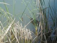 anatra nel laghetto - Bosco di Scorace - Il Contadino - 13 maggio 2012  - Buseto palizzolo (886 clic)