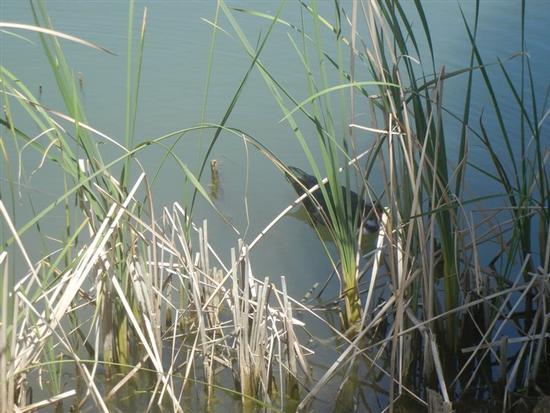 anatra nel laghetto - BUSETO PALIZZOLO - inserita il 27-Nov-14