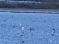 uccelli acquatici nelle saline - Riserva Naturale Orientata Saline di Trapani e Paceco - 13 settembre 2012  - Trapani (250 clic)