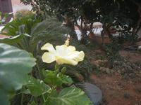 Contrada MATAROCCO - fiore di ibisco giallo - 5 agosto 2012  - Marsala (297 clic)