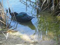 anatra nel laghetto - Bosco di Scorace - Il Contadino - 13 maggio 2012 BUSETO PALIZZOLO Lidia Navarr