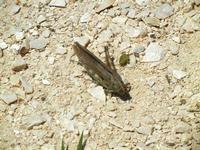 cavalletta - Bosco di Scorace - Il Contadino - 13 maggio 2012 BUSETO PALIZZOLO Lidia Navarra (bis)