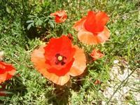 papaveri - Bosco di Scorace - Il Contadino - 13 maggio 2012 BUSETO PALIZZOLO Lidia Navarra (bis)