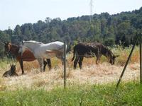 cavalli, puledro ed asino - Bosco di Scorace - Il Contadino - 13 maggio 2012  - Buseto palizzolo (348 clic)