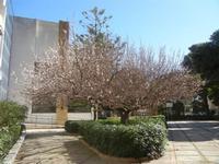 albicocco in fiore - giardino dell'I.C. G. Pascoli - 15 marzo 2012  - Castellammare del golfo (351 clic)