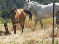 cavalli e puledro - Bosco di Scorace - Il Contadino - 13 maggio 2012  - Buseto palizzolo (379 clic)