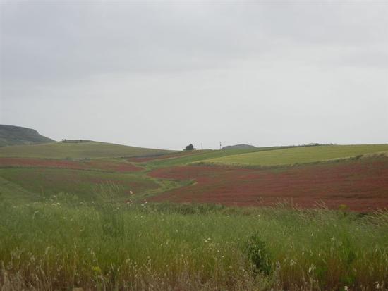 campi di sulla e grano - POGGIOREALE - inserita il 19-Jan-15